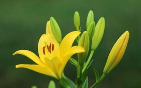 Обои макро, растение, лилия, лепестки