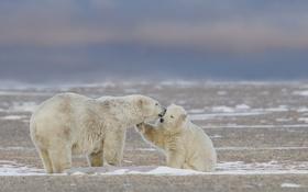 Картинка природа, фон, медведи