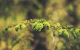 Обои листья, иголки, ветка, зеленые