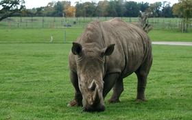 Обои трава, фон, размытость, Носоро́г, непарнокопытное животное, Rhinocerotidae