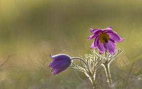 Обои травка, цветение, Анемоны, Anemones
