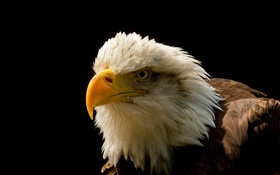 Обои фон, птица, Eagle