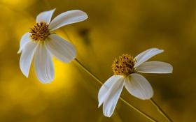 Картинка цветы, лепестки, стебель, пара