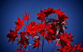 Картинка осень, небо, листья, ветка, багрянец