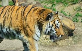 Обои полоски, тигр, хищник, профиль