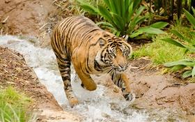 Обои вода, тигр, поток, купание