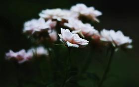 Обои белые, лепестки, розовые, цветы