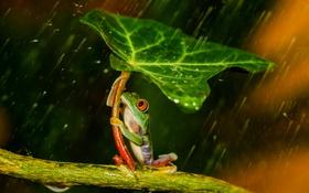 Обои лист, дождь, лягушка, лапки, зонт, зеленая, rain
