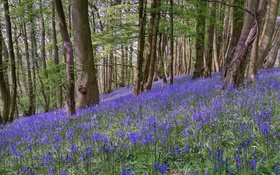 Картинка лес, деревья, цветы, склон