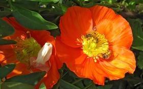 Картинка цветок, листья, пчела, лепестки, насекомое