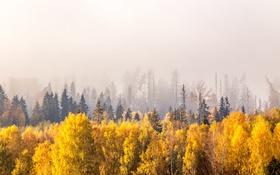 Обои лес, деревья, туман