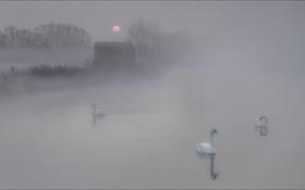 Картинка туман, утро, лебеди