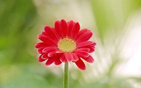 Картинка цветок, красная, гербера