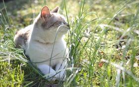 Обои кот, котяра, трава, кошак