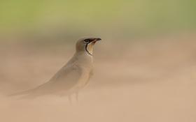 Обои природа, птица, Glareola pratincola