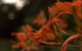 Обои лилия, оранжевая, лепестки, бутоны, цветение