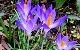 Обои природа, весна, лепестки, крокус