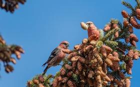 Обои птица, краски, ветка, клюв, шишки