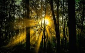 Картинка лес, солнце, лучи, деревья, заросли, всет