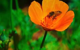 Обои цветок, макро, пчела, растение, лепестки, насекомое