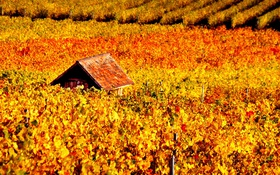 Обои осень, виноградник, домик, лоза