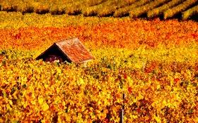 Картинка осень, виноградник, домик, лоза
