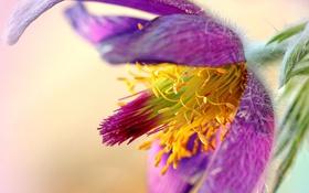 Картинка цветок, макро, сиреневый, сон трава