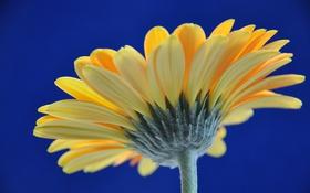 Обои цветок, небо, лепестки, гербера