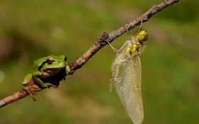 Обои стрекоза, зелёная, веточка, лягушка