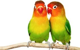 Обои colorful, попугай, парочка, two, попугайчики, неразлучники, parakeets