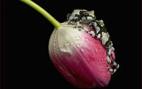 Обои капли, макро, роса, тюльпан, пара, лягушки, чёрный фон