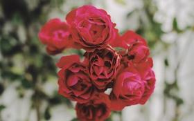 Обои цветы, розы, лепестки