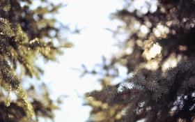 Обои иголки, ветки, елка, боке