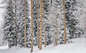 Обои зима, снег, лес, Forests, Winter, сосна, Snow