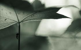 Картинка зелень, лист, фон, муравей