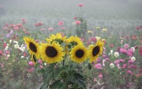 Обои лето, подсолнухи, цветы