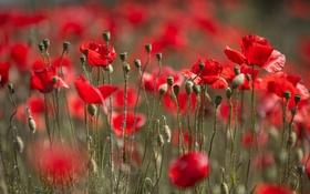 Картинка маки, луг, поле, лепестки, макро, цветы