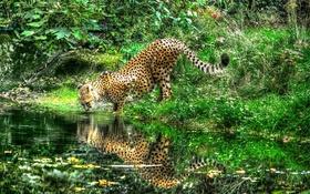 Обои гепард, отражение, река