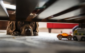 Обои собака, взгляд, дом, игрушки, друг