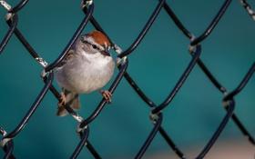 Обои природа, птица, забор