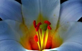 Обои тычинки, лепестки, лилия, цветок