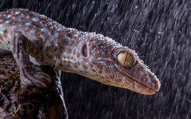 Обои морда, улыбка, дождь, хищник, ящерица, охота, rain