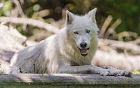 Обои хищник, белый волк, ©Tambako The Jaguar