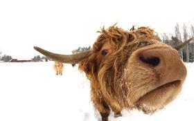 Картинка морда, фон, корова