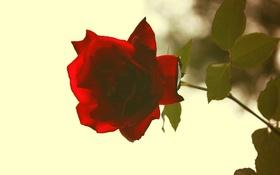 Обои цветок, роза, красная