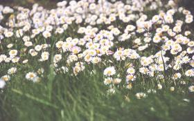 Обои белые, лепестки, ромашки, цветы