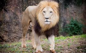 Обои лев, прогулка, грива, кошка