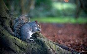 Обои осень, природа, дерево, животное, белка, грызун