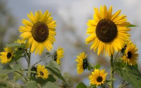 Обои цветы, подсолнух, лепестки, цветение, flowers, petals, sunflower