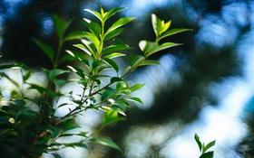 Обои листья, ветка, зеленые, боке
